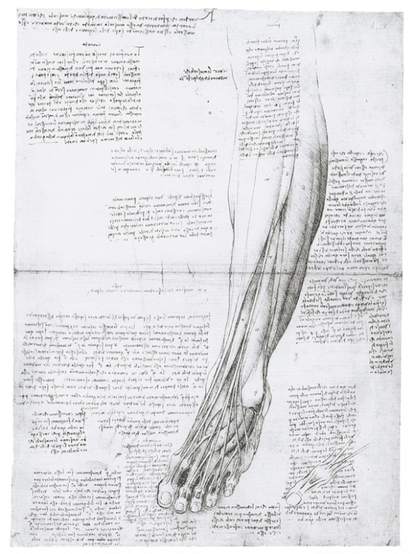 Изучение икроножных мышц человека