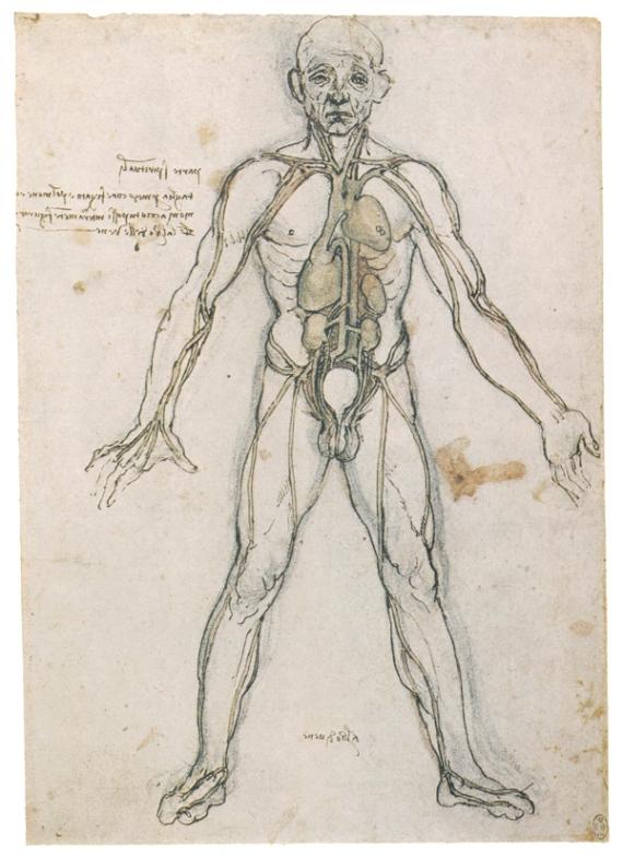 Изучение внутренних органов и кровеносной системы человека