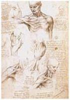 Анатомические зарисовки плечевого пояса человека. 1509-1510. Королевская библиотека, Виндзор
