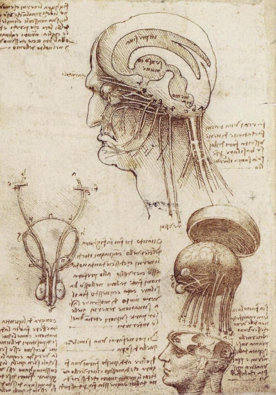 Изучение анатомии головы человека в разрезе