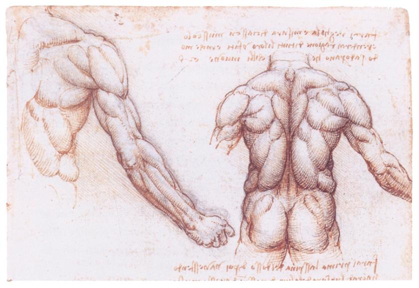 Изучение мускулатуры человека