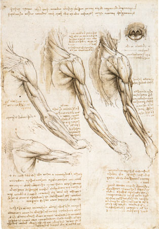 Изучение мускулатуры человека на примере шеи руки и плеча с предплечьем